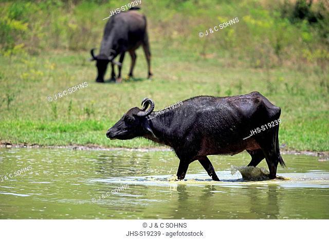 Water Buffalo, (Bubalis bubalis), adult female walking through water, Udawalawe Nationalpark, Sri Lanka, Asia