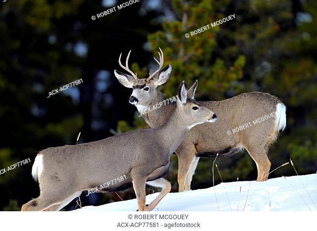 Mule deer 'Odocoileus hemionus' a buck and a doe interacting with each other on a snow covered hillside