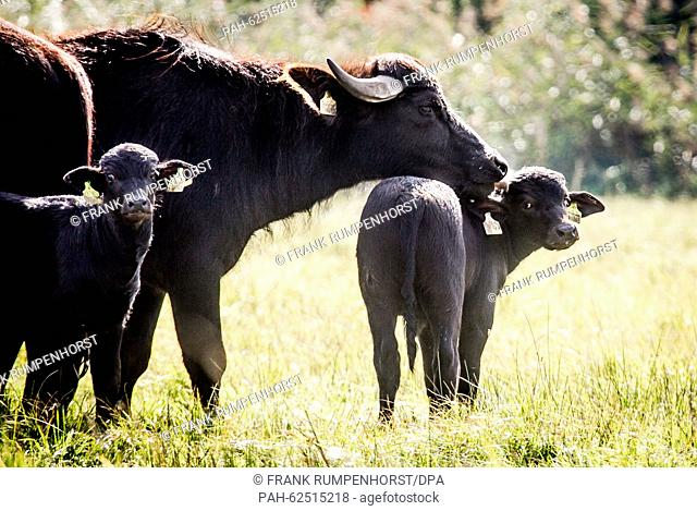 A water buffalo cow licks her young calf on the ear, near Karben, Germany, 24 September 2015. A small herd of water buffalo has been living in the...