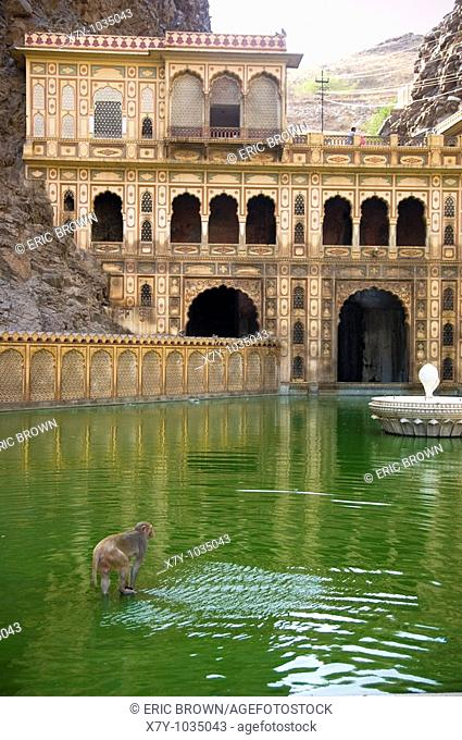 I monkey wades in the water of the fountain at the Monkey Temple, Galta, India