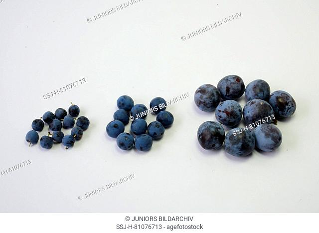 Prunus varieties. From left to right: Blackthorn (Prunus spinosa), Bullace Plum, Damson Plum (Prunus domestica ssp. Insititia