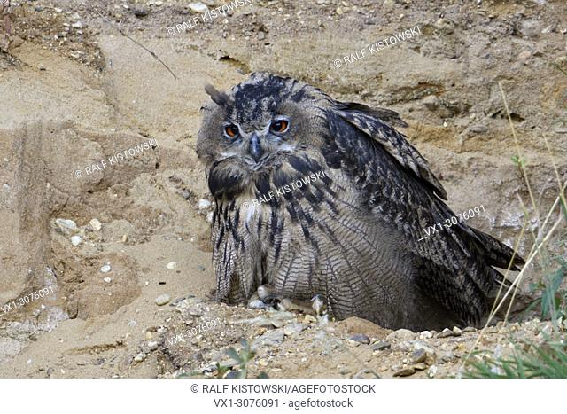 Eurasian Eagle Owls ( Bubo bubo ), young bird, sitting in the slope of a sand pit, looks tired, sleepy, wildife, Europe