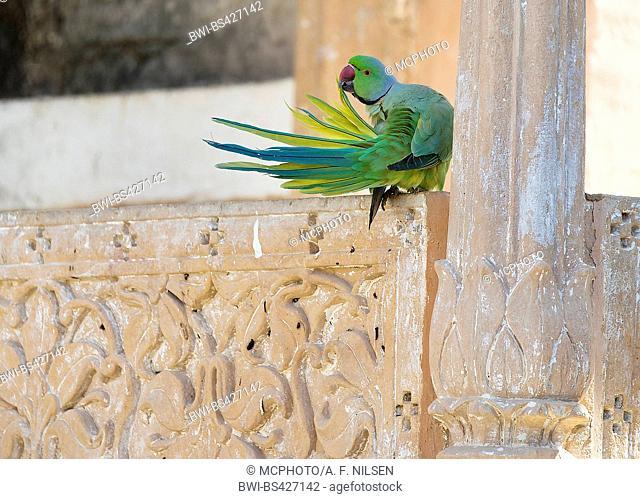 rose-ringed parakeet (Psittacula krameri borealis), male, India, Rajasthan, Chanoud Garh