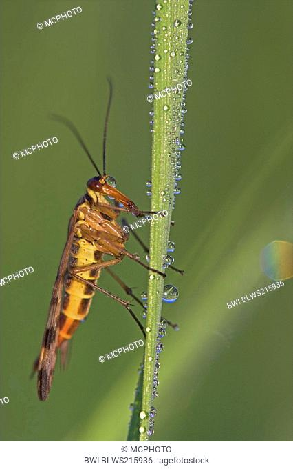 common scorpionfly Panorpa communis, sitting on a leaf with morning dew, Germany, Rhineland-Palatinate
