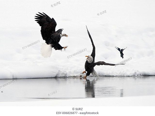 Bald eagles (Haliaeetus leucocephalus) fighting for food