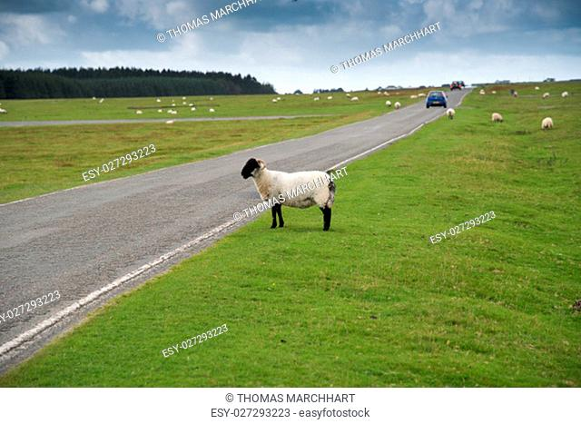 Sheep at the road on the abandoned runway at Davidstow Airfield in Cornwall