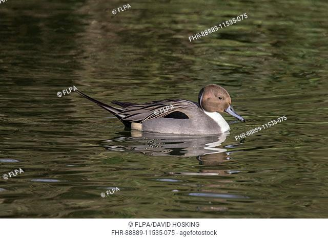 Pintail duck, male - captive bird