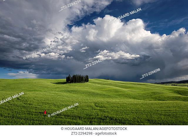 Landscape of a stand of Cypress trees in a rolling hill farmland. Val D'Orcia, Tuscany, Italy