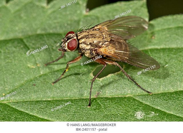 Muscid Fly (Phaonia angelicae), Untergroeningen, Baden-Wuerttemberg, Germany, Europe