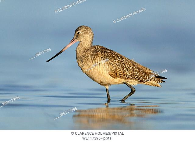 Marbled Godwit Limosa fedoa wading in shallow water at Fort Desoto Park, Tierra Verde, Florida, USA