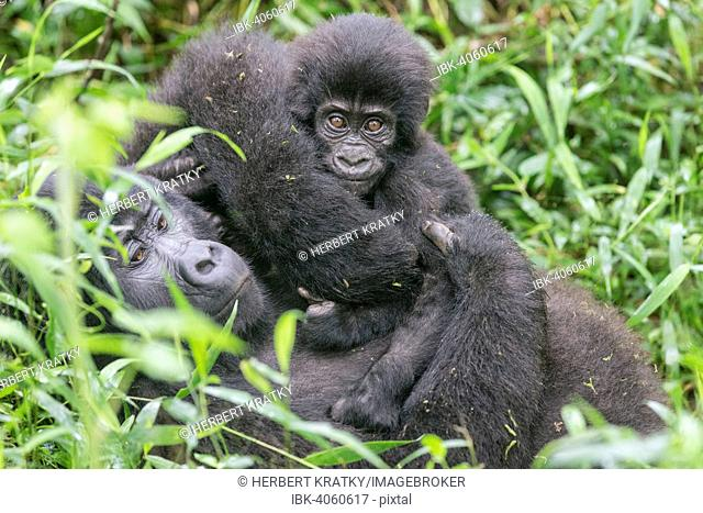 Mountain Gorilla (Gorilla beringei beringei) of the Nkuringo group with young, Bwindi Impenetrable Forest National Park, Uganda
