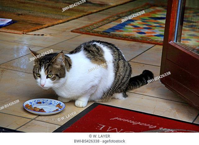 domestic cat, house cat (Felis silvestris f. catus), domestic cat at the terrace door, Germany