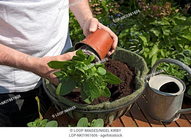 Man planting petunia in hanging basket