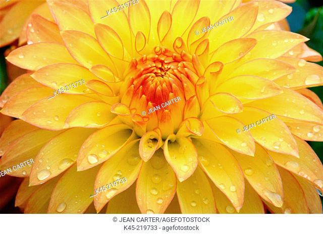 Dahlia (Dahlia spp.)