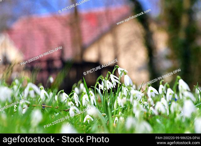18 February 2020, Brandenburg, Wandlitz: The snowdrops in the garden of the Evangelical Church, the first flowering plants of early spring