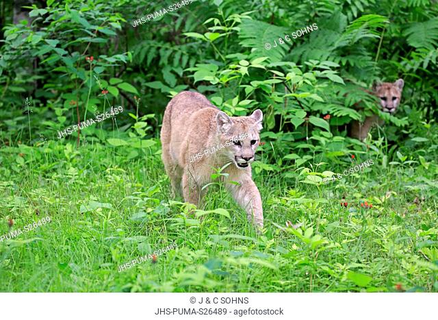Mountain Lion, cougar, puma, (Felis concolor), young adult siblings alert stalking on meadow, Pine County, Minnesota, USA, North America