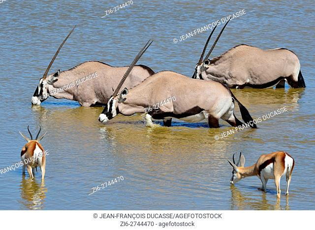 Gemsboks (Oryx gazella) and springboks (Antidorcas marsupialis), drinking at a waterhole, Etosha National Park, Namibia, Africa