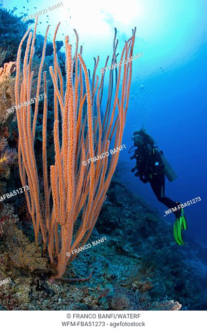 scuba diver and res sea whip coral, Ellisella spec., Cabilao Island, Central Visayas, Philippines