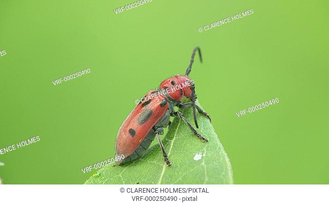 A Red Milkweed Beetle (Tetraopes tetrophthalmus) perches on the end of a milkweed plant leaf