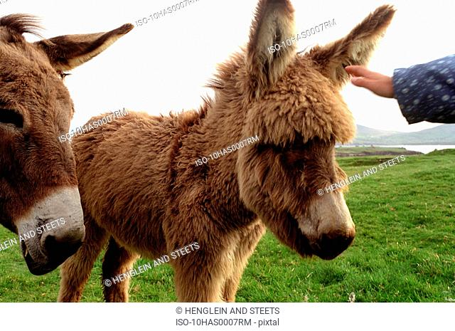 Donkeys being petted
