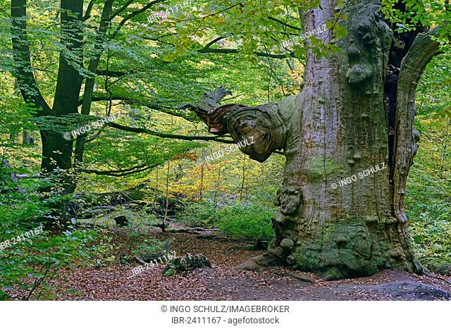 Approx. 800 year old Beech (Fagus) in autumn, nature reserve of the ancient forest of Sababurg, Hesse, Germany, Europe