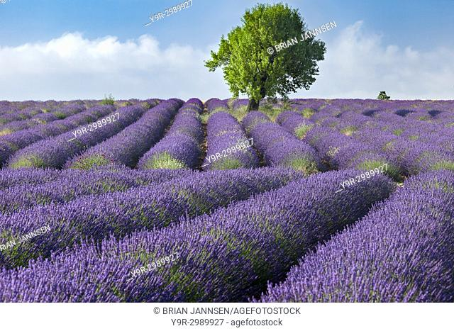 Rows of Lavender along the Valensole Plateau, Alpes- de-Haute-Provence, Provence France