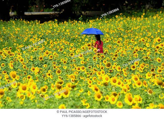 lady with umbrella walking through sunflower field , sunflower fields of lopburi , central thailand