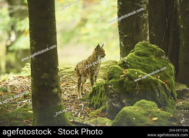 Eurasian lynx (Lynx lynx) in a forest, captive, Bavarian Forest Nationalpark, Bavaria, Germany, Europe