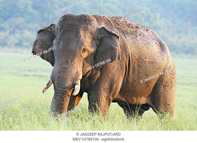 Male Indian / Asian Elephant (Tusker) after the bath (Elephas maximus)