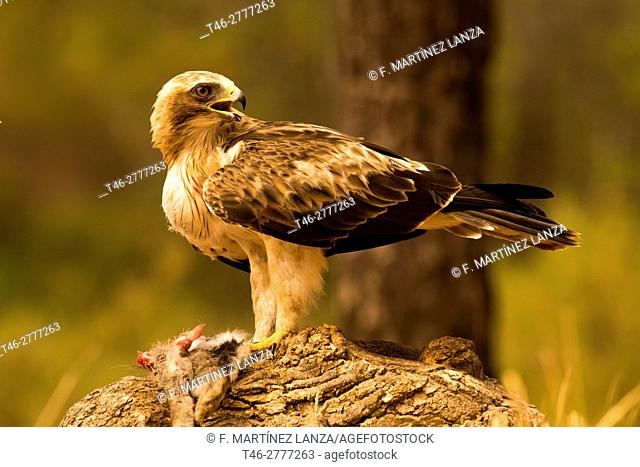 Booted eagle or (booted eagle). Photographed in Cuenca
