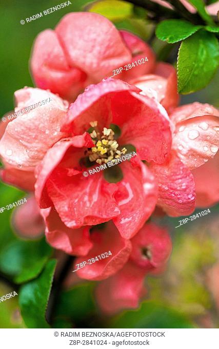 "Flowering quince Chaenomeles speciosa """"Salmon Horizon"""" in a garden, Water drops"