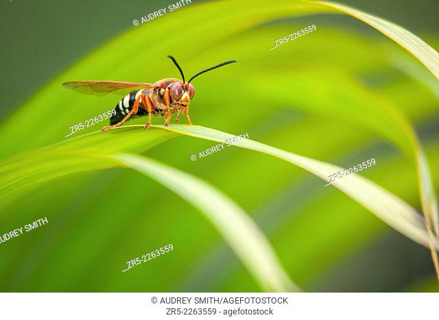 A cicada killer wasp (Sphecius speciosus) rests on majesty palm fronds, Florida, USA. Cicada killer wasps are large hornets that parasitize cicadas by stinging...