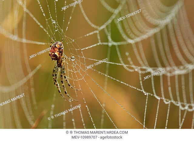 Lesser Garden Spider in spiderweb covered in dew Switzerland