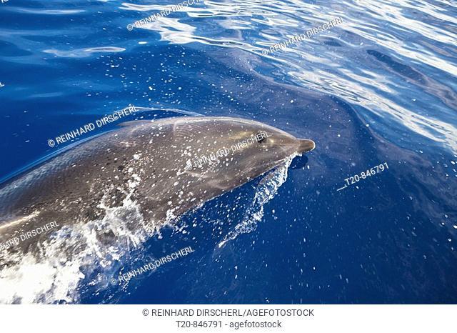 Bottlenose Dolphin, Tursiops truncatus, Azores, Atlantic Ocean, Portugal