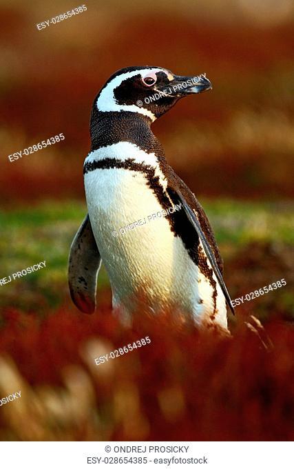 Penguin in the red evening grass, Magellanic penguin