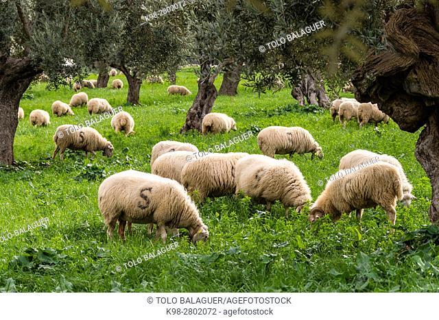 Sheep grazing, Alqueria d Avall, Bunyola, region of the Serra de Tramuntana, Mallorca, Spain