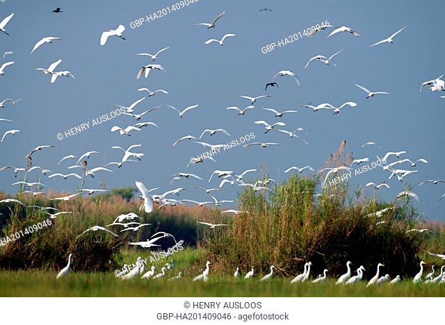 Western Great Egret; Ardea alba egretta; Little Egret; Egretta garzetta; Thailand