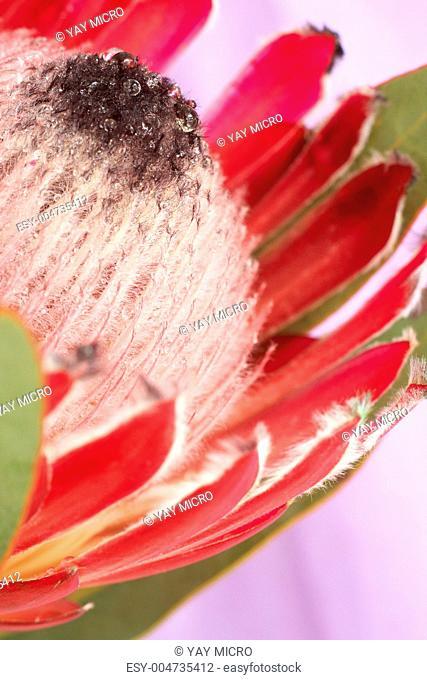 Pink protea macro