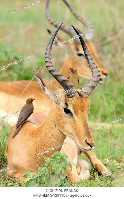 South Africa, Mpumalanga region, the South Kruger National Park, impala (Aepyceros melampus) and red-billed Oxpecker (Buphagus erythrorhynchus)