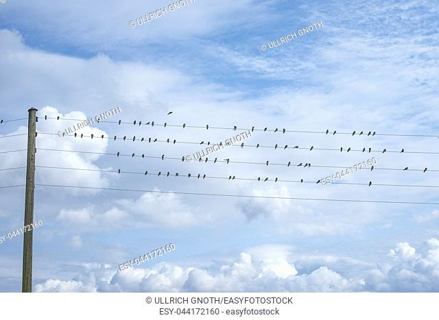Migratory birds lined up on wires in the port of Nyord (Nyord Havn) on the island of Nyord, Denmark, Scandinavia, Europe