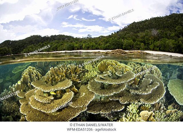 Various Hard Corals in shallow water, Wayag, Raja Ampat, West Papua, Indonesia