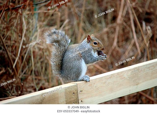 Grey squirrel (Sciurus carolinensis) just about to eat an acorn sitting on the top of a new post and rail wooden fence