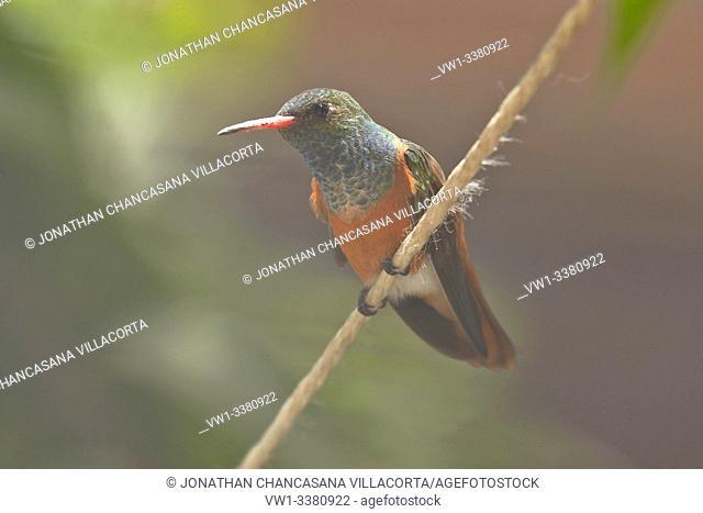 Amazilia hummingbird (Amazilia amazilia) in the foreground and resting peacefully. lima - Perú