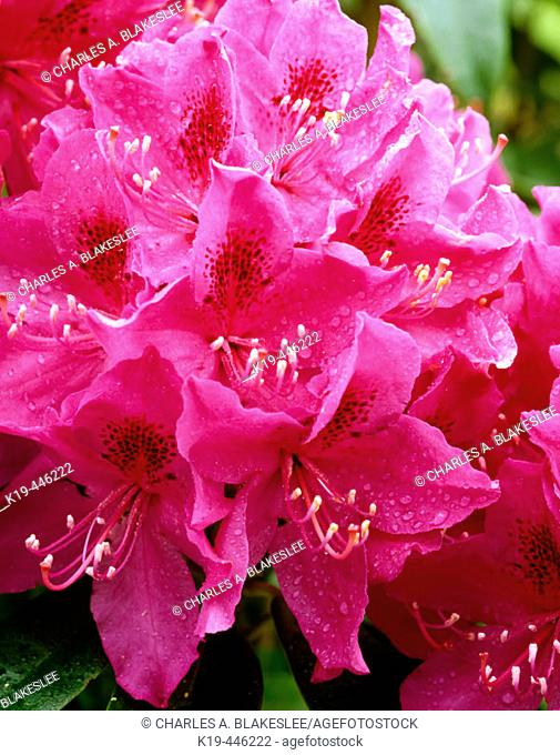 Raindrops on Rhododendrons in morning light. Upper Hood River Valley, Hood River County. Oregon, USA