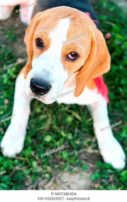 Portrait of cute beagle dog on green grass in the backyard