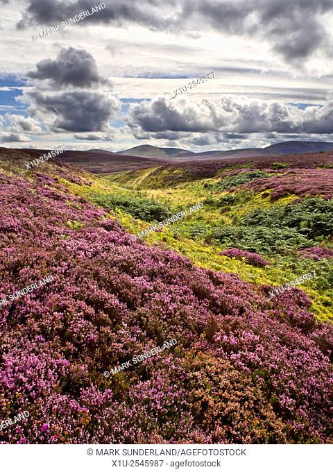 Heather Moorland in The Cheviots near Wooler Northumberland National Park England