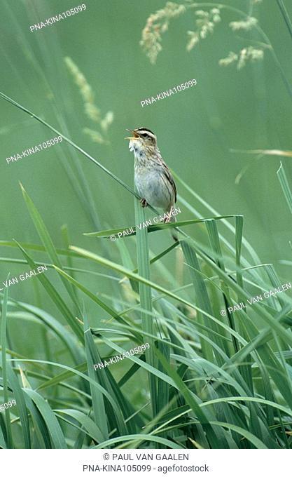 Aquatic Warbler Acrocephalus paludicola - Narew National Park, Narwianski Park Narodowy, Northeast Poland, Podlaskie, Podlachia, Poland, Europe