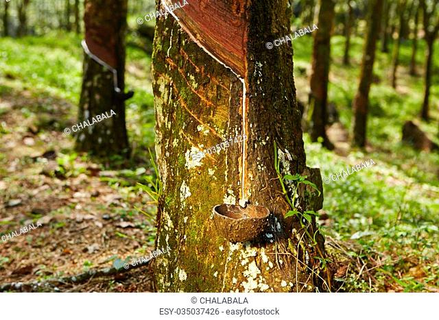 Tapping sap from the rubber tree in Sri Lanka