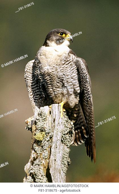 Peregrine Falcon (Falco peregrinus). Portrait of adult perched on post. Strathspey. Cairngorms National Park. Scotland. UK