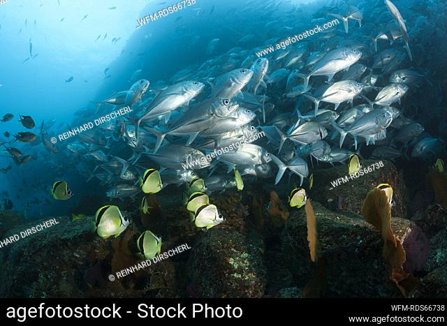 Shoal of Bigeye Trevally and Barberfishes, Caranx sexfasciatus, Cabo Pulmo, Baja California Sur, Mexico